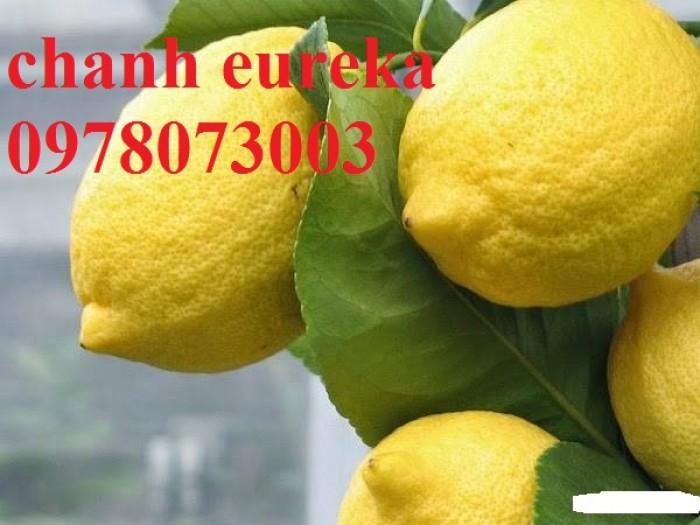 Giống chanh vàng eureka - viện cây giống trung ương chuyên cung cấp giống nhập khẩu chất lượng cao8
