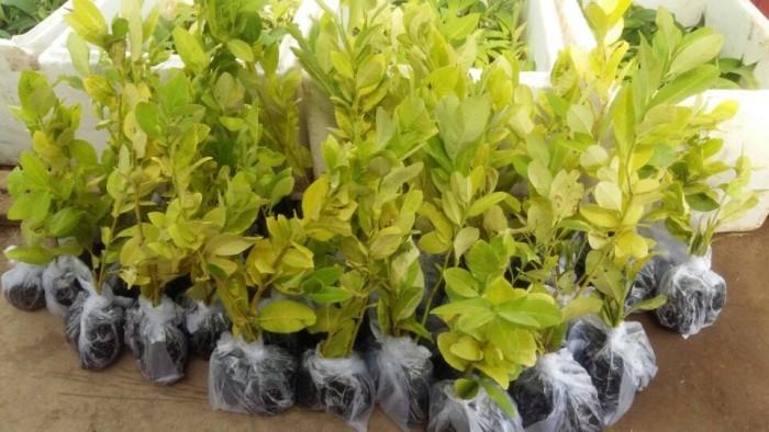 Giống chanh vàng eureka - viện cây giống trung ương chuyên cung cấp giống nhập khẩu chất lượng cao12