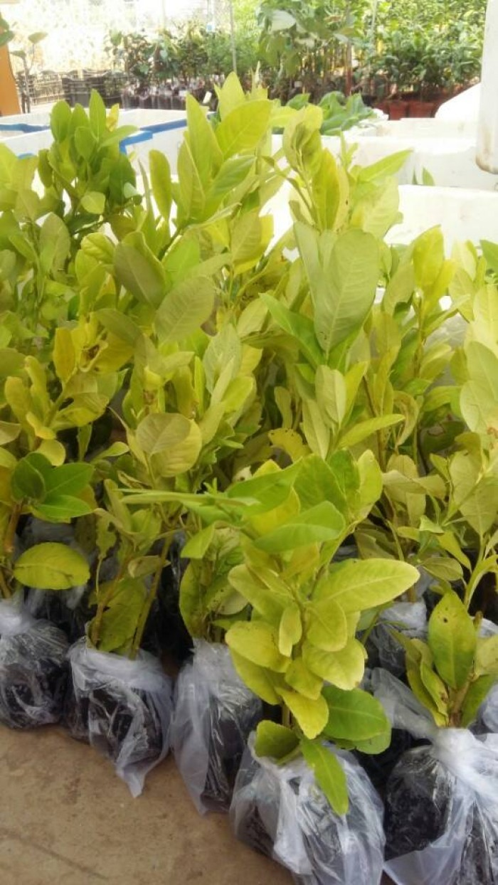 Giống chanh vàng eureka - viện cây giống trung ương chuyên cung cấp giống nhập khẩu chất lượng cao2