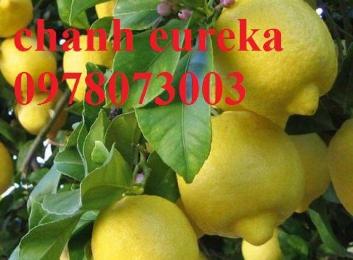 Giống chanh vàng eureka - viện cây giống trung ương chuyên cung cấp giống nhập khẩu chất lượng cao6