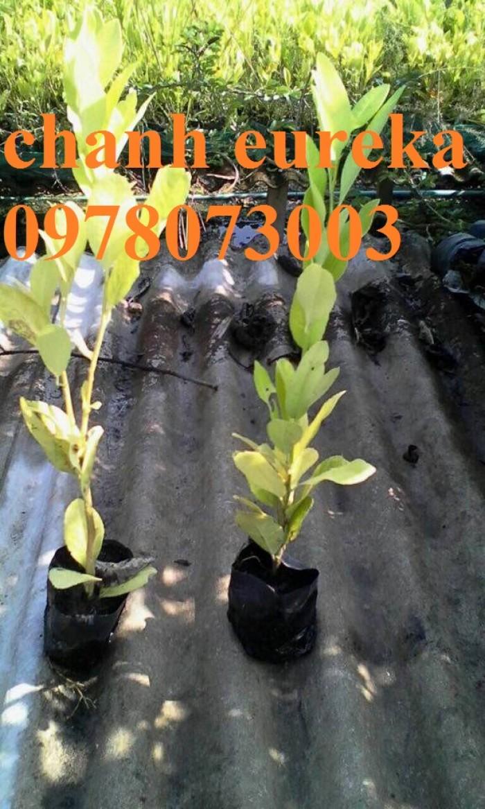 Giống chanh vàng eureka - viện cây giống trung ương chuyên cung cấp giống nhập khẩu chất lượng cao1