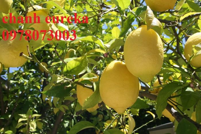 Giống chanh vàng eureka - viện cây giống trung ương chuyên cung cấp giống nhập khẩu chất lượng cao5