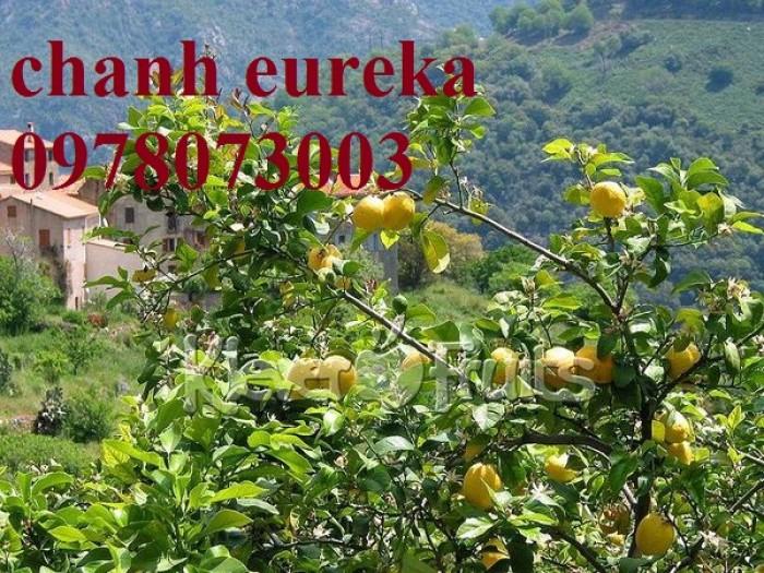Giống chanh vàng eureka - viện cây giống trung ương chuyên cung cấp giống nhập khẩu chất lượng cao4