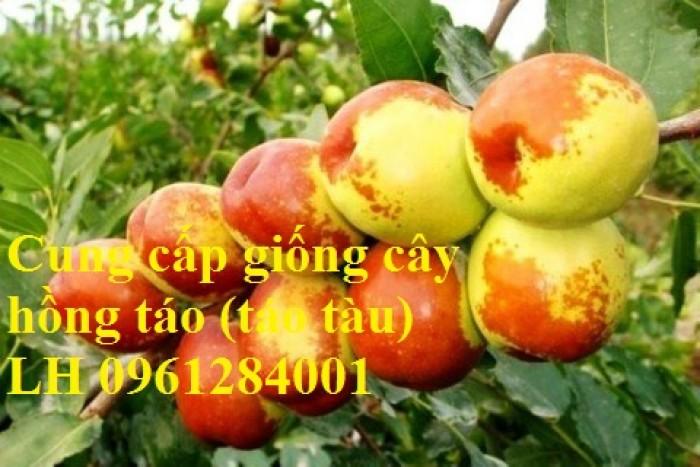 Chuyên cung cấp giống cây hồng, cây táo tàu, đại táo, số lượng lớn, giao hàng toàn quốc6