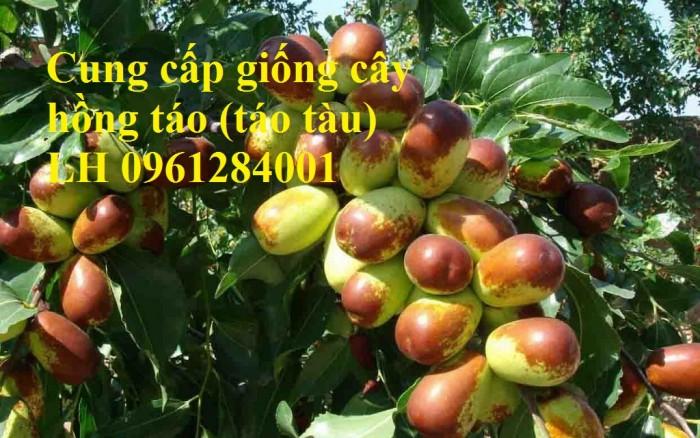 Chuyên cung cấp giống cây hồng, cây táo tàu, đại táo, số lượng lớn, giao hàng toàn quốc3