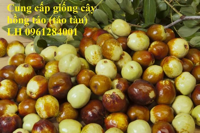 Chuyên cung cấp giống cây hồng, cây táo tàu, đại táo, số lượng lớn, giao hàng toàn quốc2