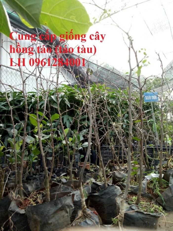 Chuyên cung cấp giống cây hồng, cây táo tàu, đại táo, số lượng lớn, giao hàng toàn quốc0