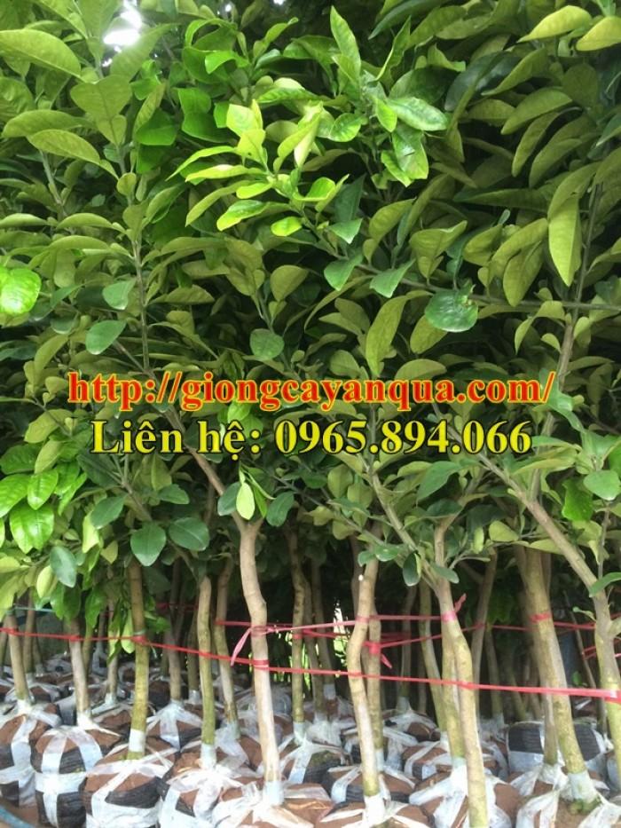 Cung cấp cây ăn quả choai, bưởi diễn choai, bưởi da xanh choai, bưởi đỏ choai, bưởi tiến vua choai1