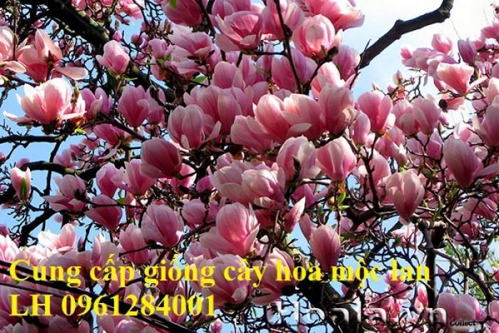 Cây hoa mộc lan đẹp quyến rũ, hoa mộc lan hương thơm nồng nàn15