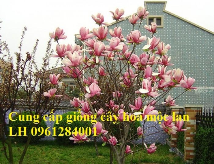 Cây hoa mộc lan đẹp quyến rũ, hoa mộc lan hương thơm nồng nàn13