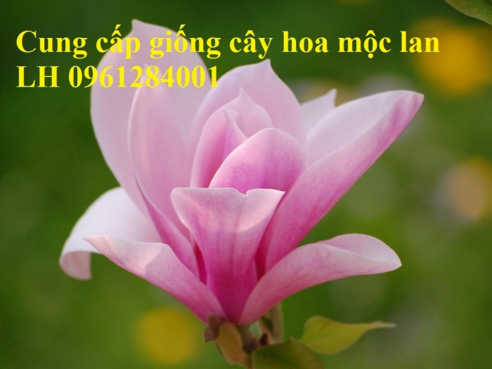 Cây hoa mộc lan đẹp quyến rũ, hoa mộc lan hương thơm nồng nàn12