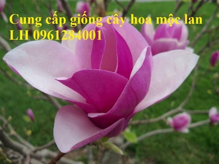 Cây hoa mộc lan đẹp quyến rũ, hoa mộc lan hương thơm nồng nàn14