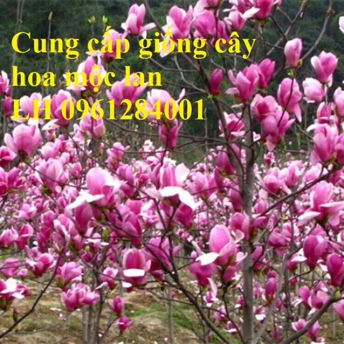 Cây hoa mộc lan đẹp quyến rũ, hoa mộc lan hương thơm nồng nàn10