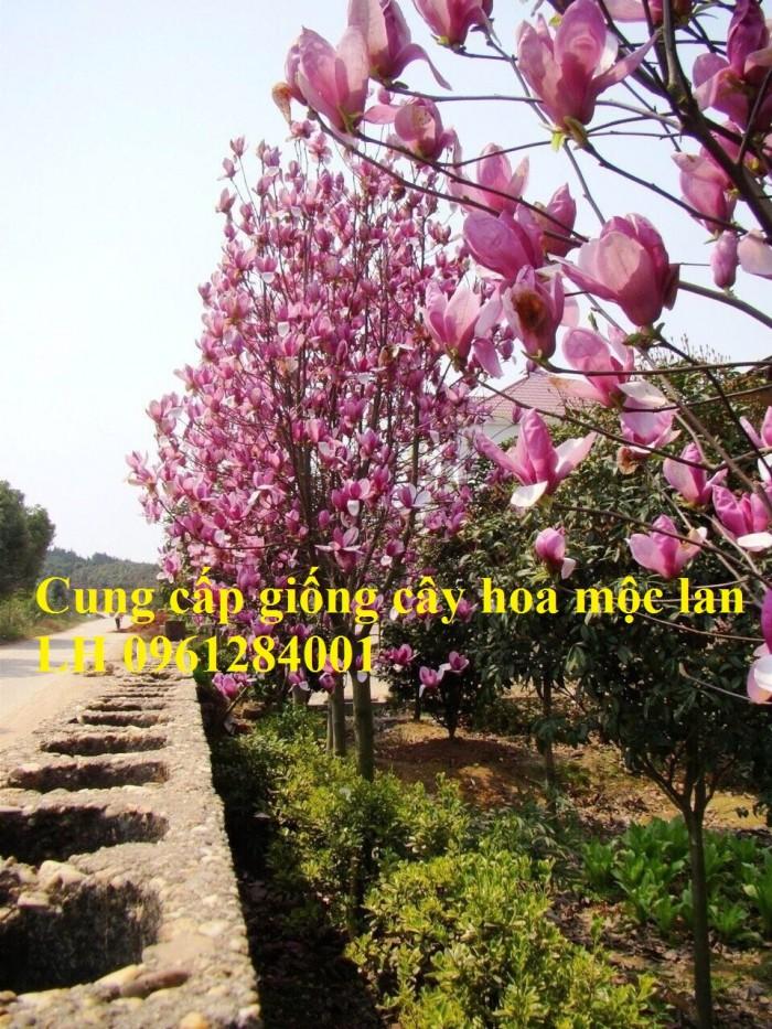 Cây hoa mộc lan đẹp quyến rũ, hoa mộc lan hương thơm nồng nàn9