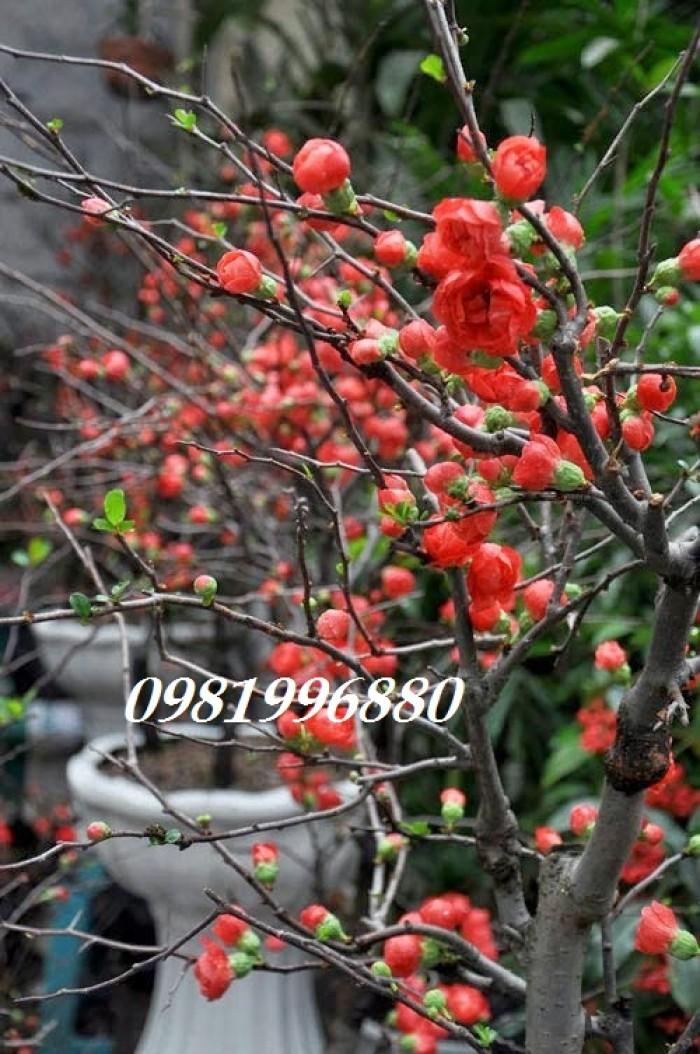 Hoa mai đỏ - Phục vụ tết nguyên đán1