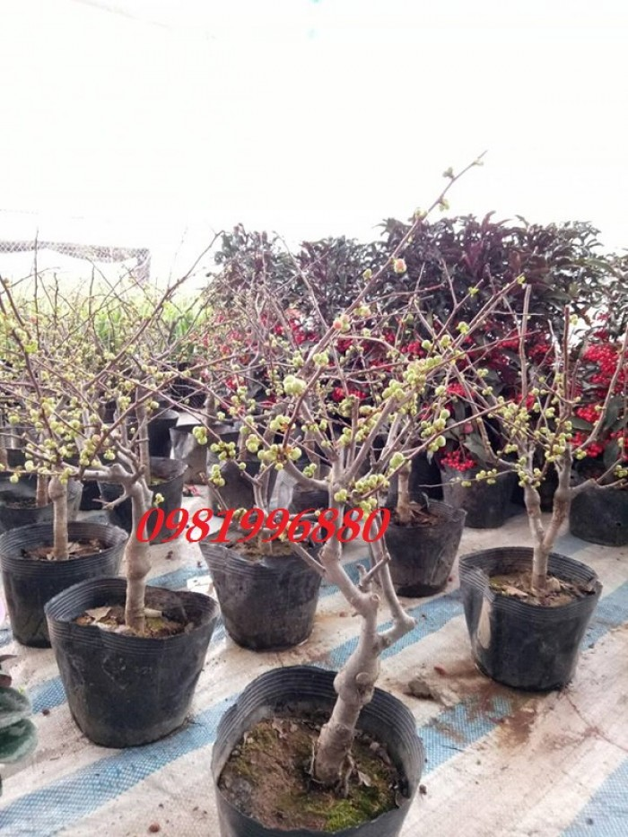 Hoa mai đỏ - Phục vụ tết nguyên đán0