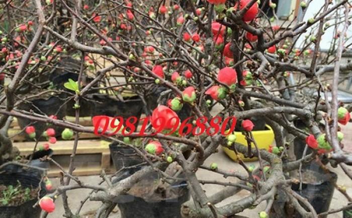 Hoa mai đỏ - Phục vụ tết nguyên đán8