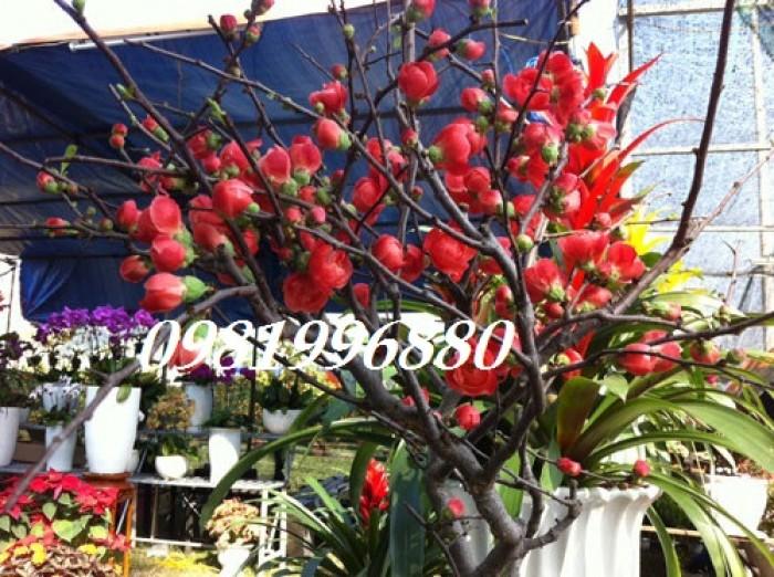 Hoa mai đỏ - Phục vụ tết nguyên đán3