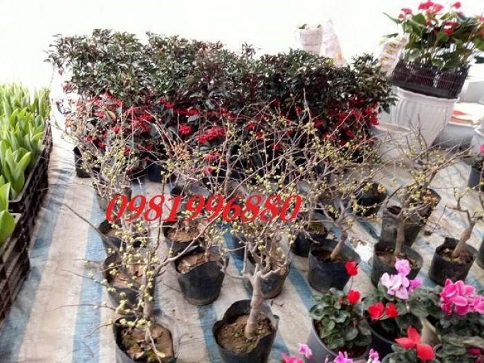 Hoa mai đỏ - Phục vụ tết nguyên đán4