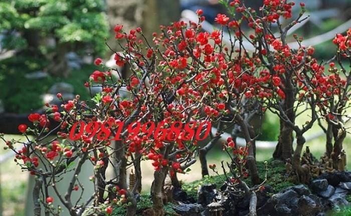 Hoa mai đỏ - Phục vụ tết nguyên đán7