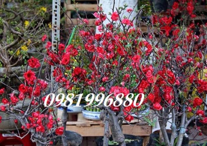 Hoa mai đỏ - Phục vụ tết nguyên đán5