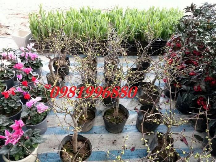 Hoa mai đỏ - Phục vụ tết nguyên đán2