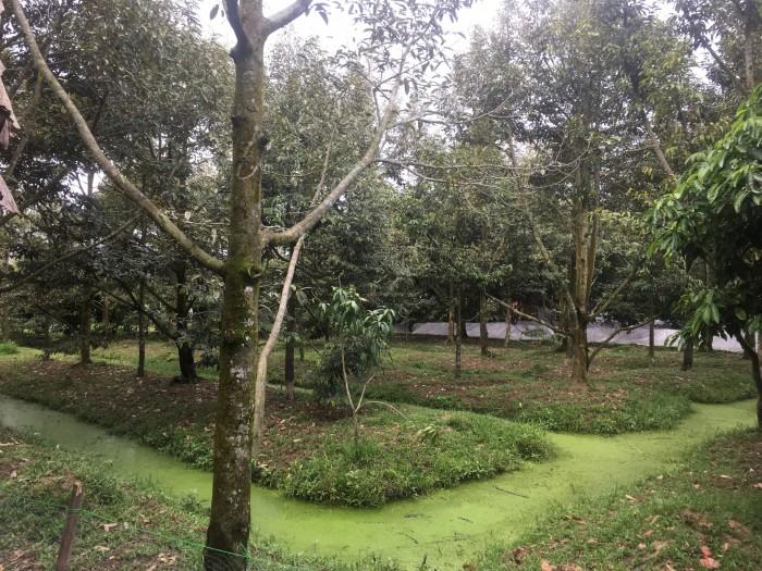 Đất vườn sầu riêng dt 1200m2 tại thị trấn Chợ Lách Bến Tre