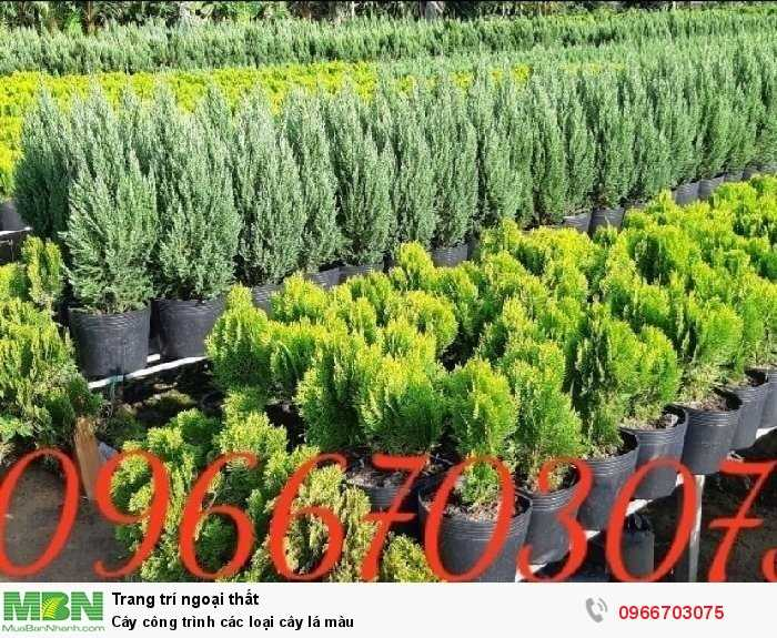 Cây công trình các loại cây lá màu3