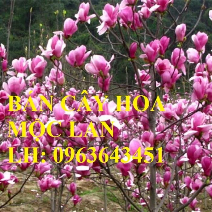 Cung cấp cây hoa mộc lan, cây hoa mộc lan đang có hoa, uy tín, chất lượng, giao cây toàn quốc7