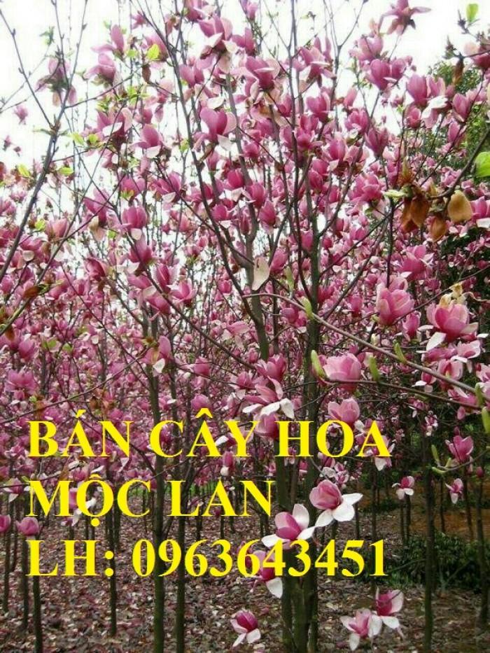 Cung cấp cây hoa mộc lan, cây hoa mộc lan đang có hoa, uy tín, chất lượng, giao cây toàn quốc4