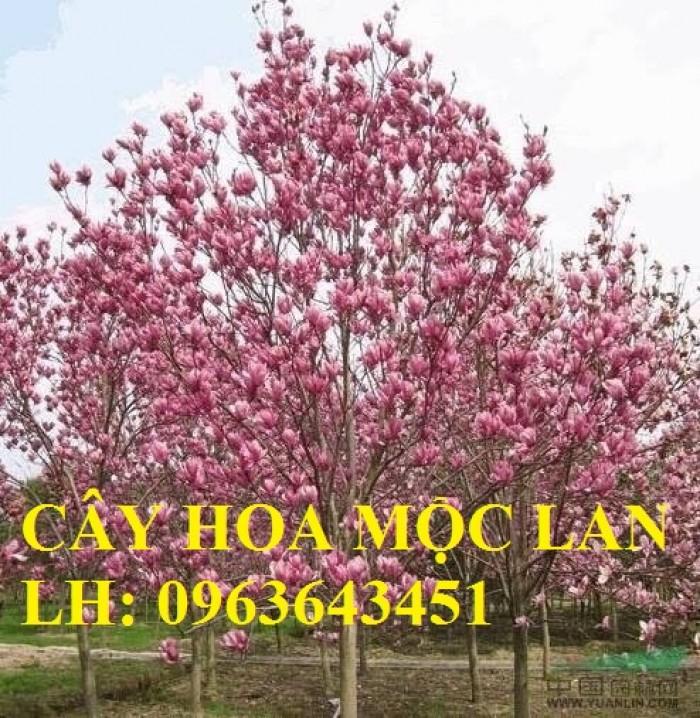 Cung cấp cây hoa mộc lan, cây hoa mộc lan đang có hoa, uy tín, chất lượng, giao cây toàn quốc9