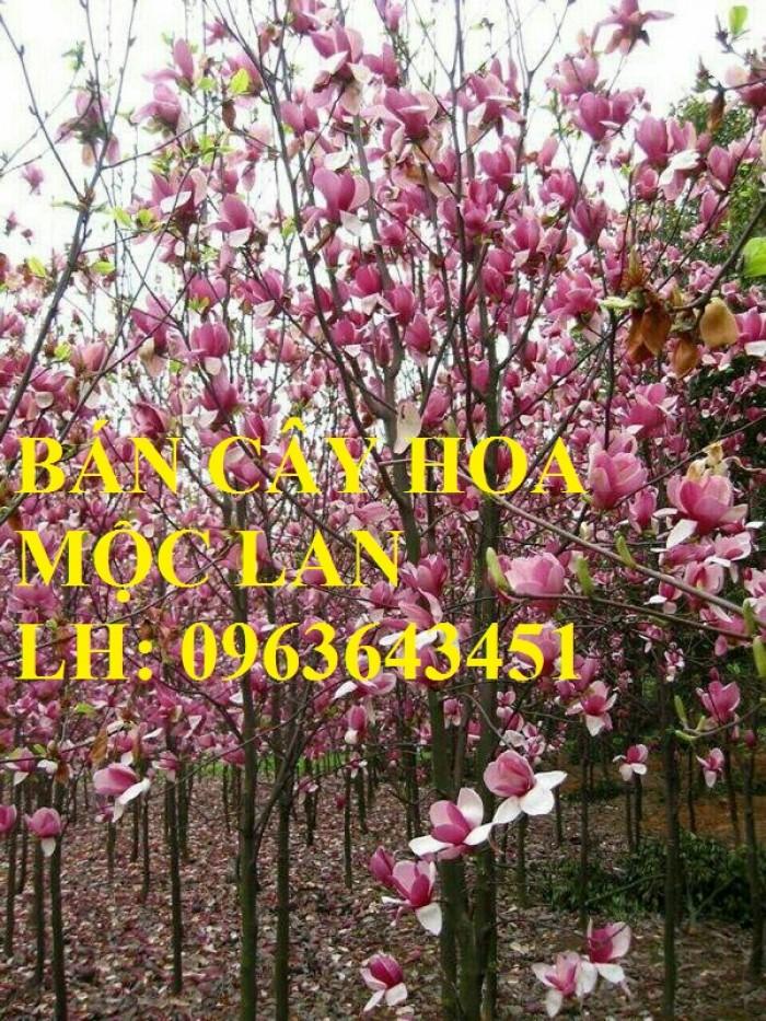 Cung cấp cây hoa mộc lan, cây hoa mộc lan đang có hoa, uy tín, chất lượng, giao cây toàn quốc5