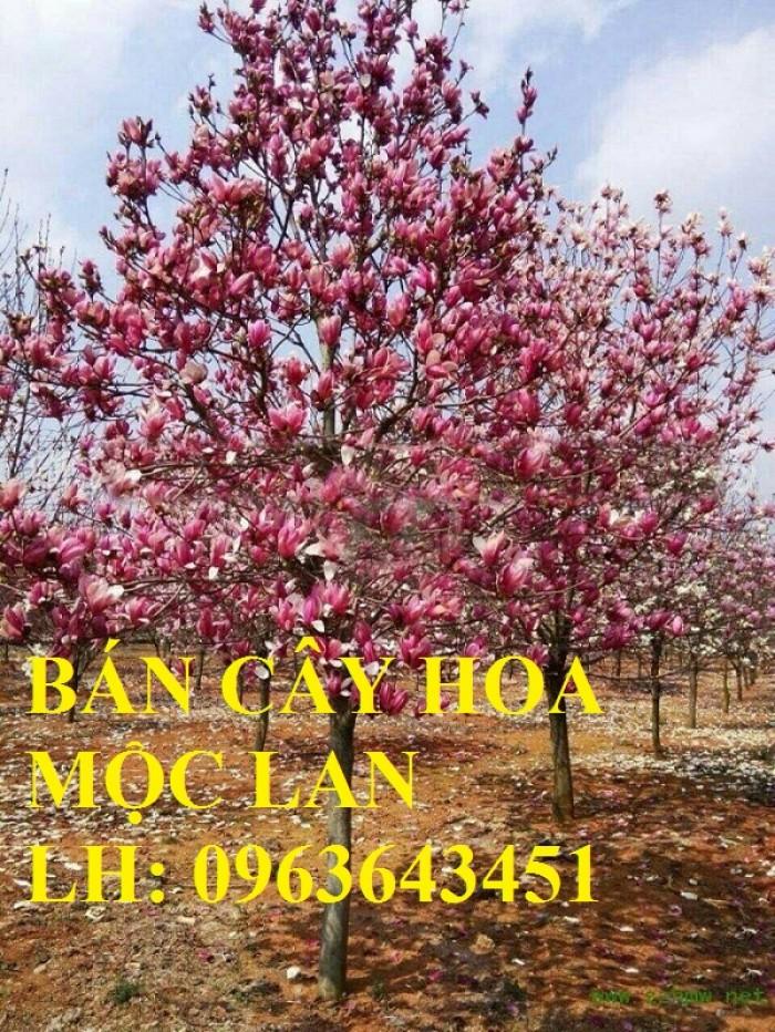 Cung cấp cây hoa mộc lan, cây hoa mộc lan đang có hoa, uy tín, chất lượng, giao cây toàn quốc3