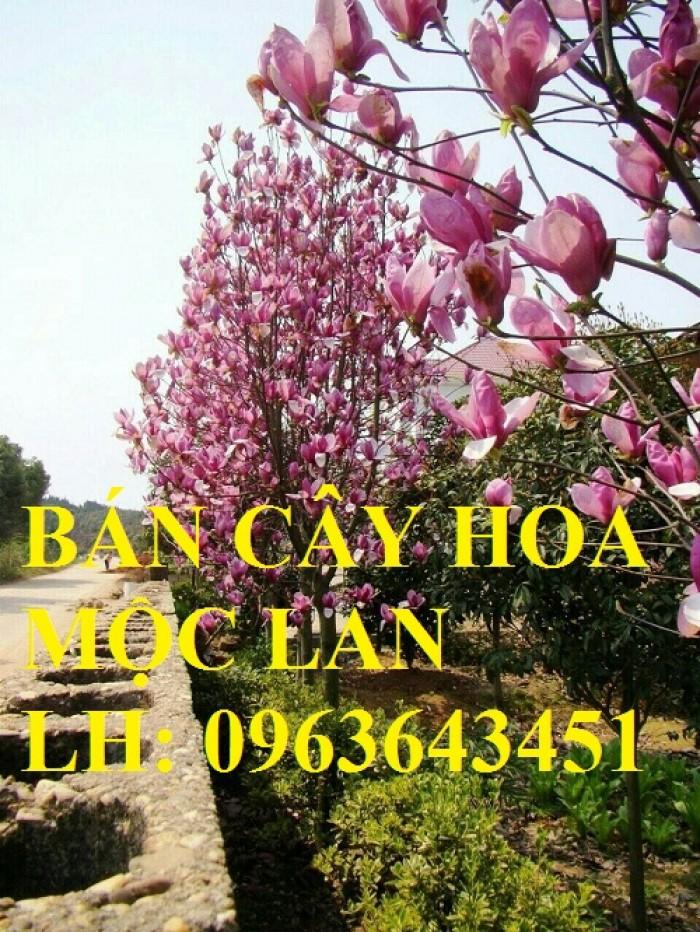 Cung cấp cây hoa mộc lan, cây hoa mộc lan đang có hoa, uy tín, chất lượng, giao cây toàn quốc6