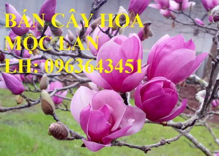Cung cấp cây hoa mộc lan, cây hoa mộc lan đang có hoa, uy tín, chất lượng, giao cây toàn quốc10