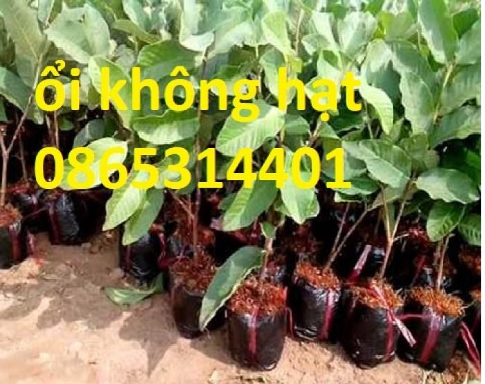 Giống cây ổi không hạt ruột trắng ăn ngon thơm. cung cấp cây giống toàn quốc3