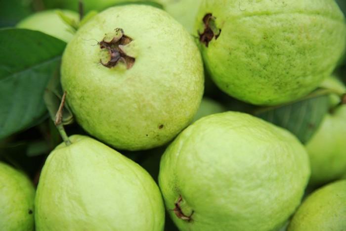 Giống cây ổi không hạt ruột trắng ăn ngon thơm. cung cấp cây giống toàn quốc2