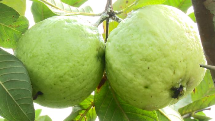 Giống cây ổi không hạt ruột trắng ăn ngon thơm. cung cấp cây giống toàn quốc6