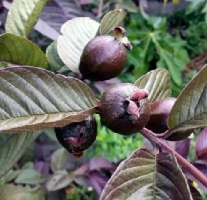 Cây giống ổi tím, cây ổi tím ươm gieo hạt, ổi tím ghép. trồng ăn, trồng làm cảnh.2