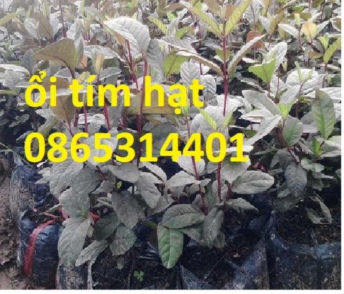 Cây giống ổi tím, cây ổi tím ươm gieo hạt, ổi tím ghép. trồng ăn, trồng làm cảnh.5