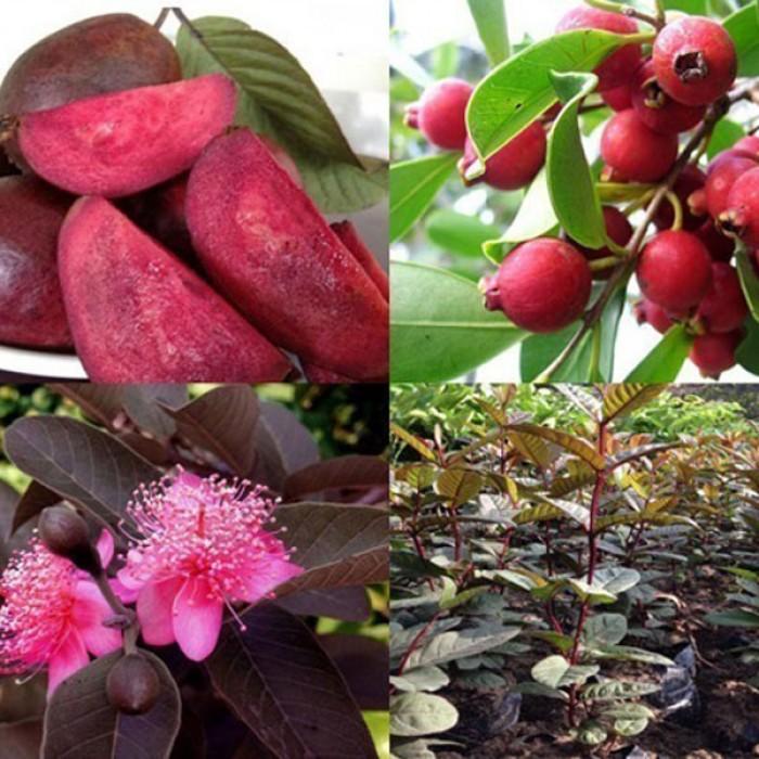 Cây giống ổi tím, cây ổi tím ươm gieo hạt, ổi tím ghép. trồng ăn, trồng làm cảnh.0