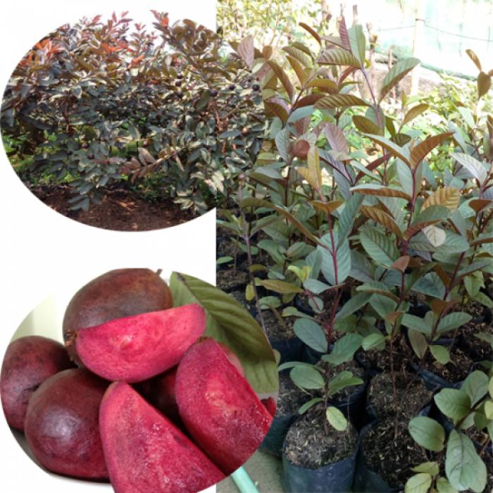 Cây giống ổi tím, cây ổi tím ươm gieo hạt, ổi tím ghép. trồng ăn, trồng làm cảnh.4