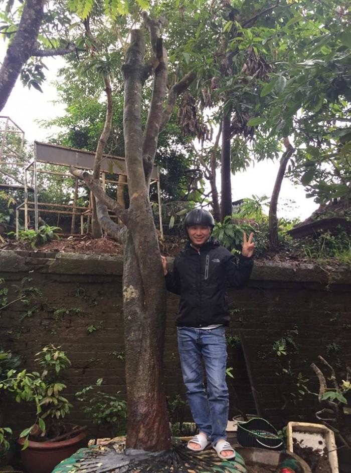 Bán cây mai huế cổ thụ đẹp độc lạ