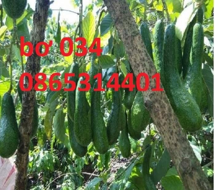 cung cấp giống cây bơ 034 chuẩn giống. bơ 034 trồng ở toàn quốc năng suất cao.3