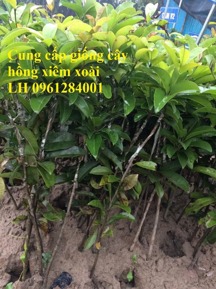 Cung cấp cây giống hồng xiêm xoài, hồng xiêm quả to, số lượng lớn, cam kết chất lượng6