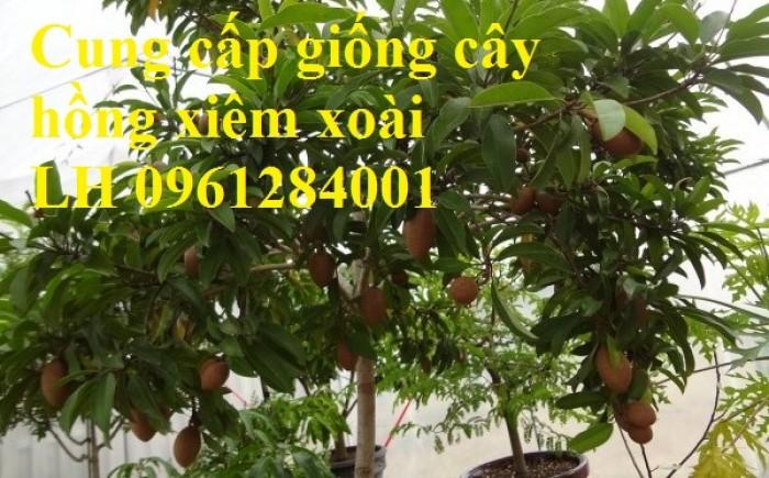 Cung cấp cây giống hồng xiêm xoài, hồng xiêm quả to, số lượng lớn, cam kết chất lượng7