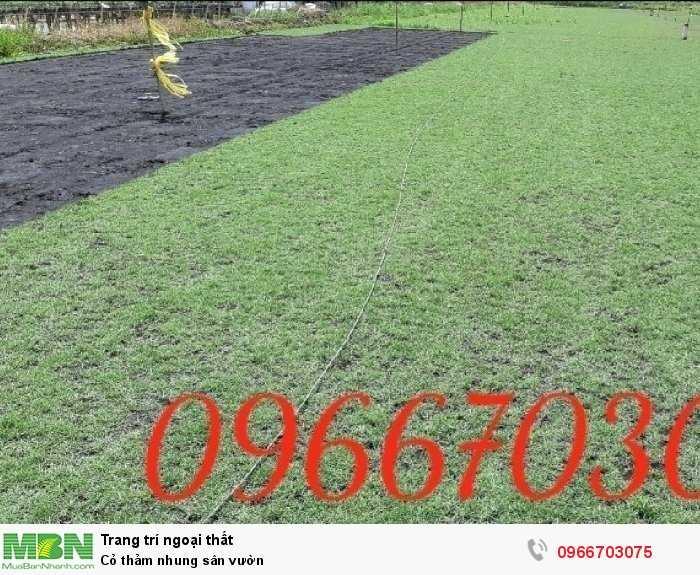 Cỏ thảm nhung sân vườn0