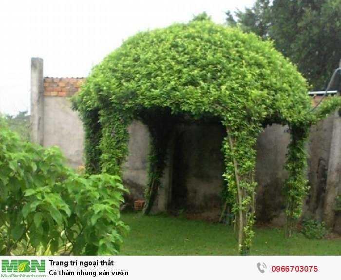 Cỏ thảm nhung sân vườn2