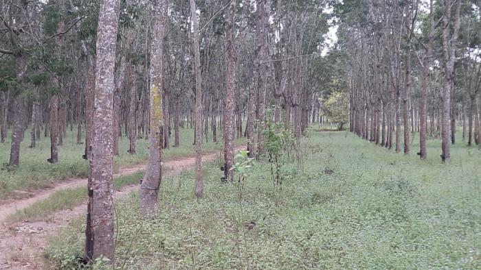 Bán Vườn Cao Su Dt 750 Ha Tại Cư Jut- Đắc Nông