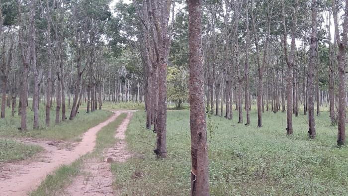 Bán đất dự án điện năng lượng 1000 Ha Tại Lộc Ninh- Bình Phước